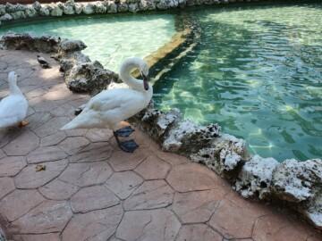 La nueva hembra de cisne que ya se puede ver en el estanque de La Alamedilla.