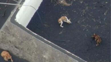Perros atrapados en La Palma
